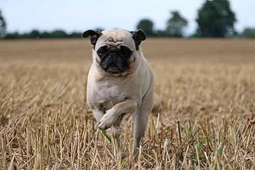 Pug is healthy