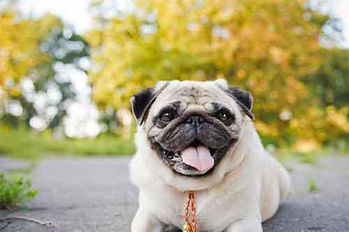 Pug panting