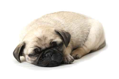 Pug sleeping habits