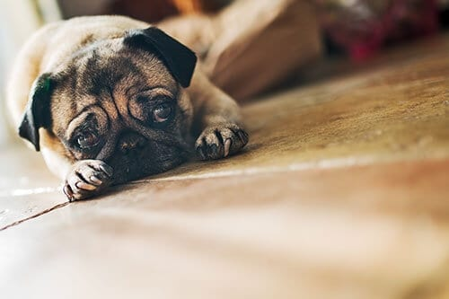 should a Pug wear a muzzle