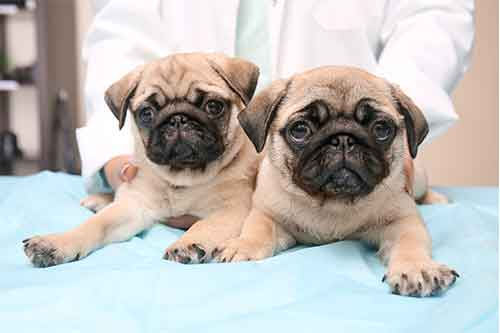 two light colored pugs