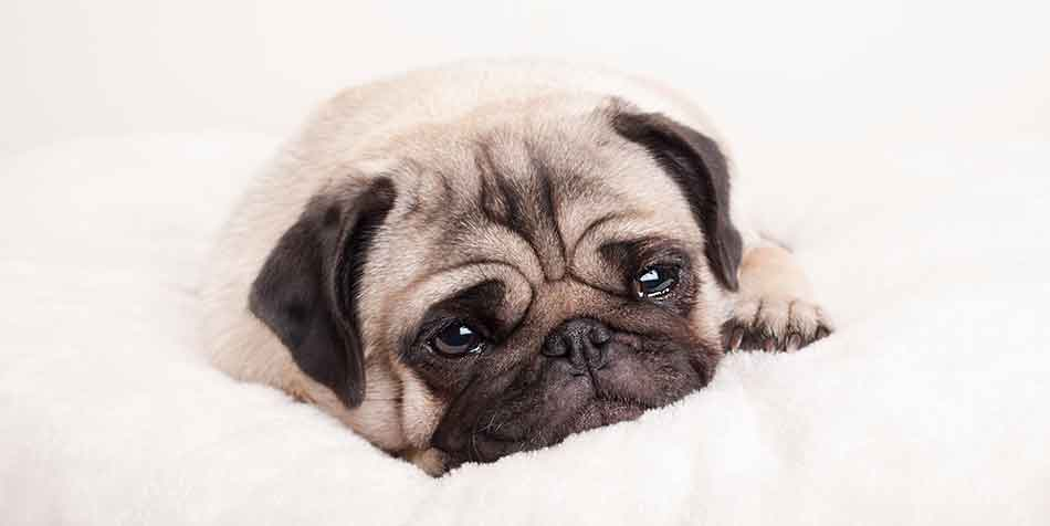 why do Pugs cry so much