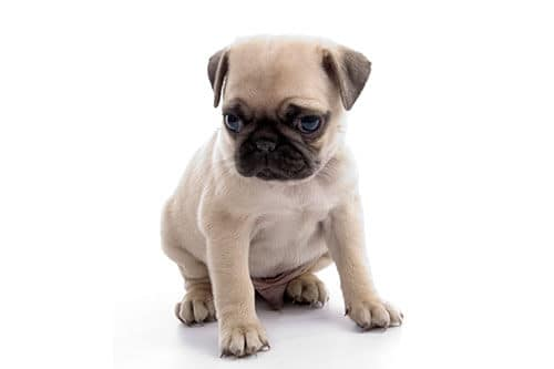 why do pugs get hiccups