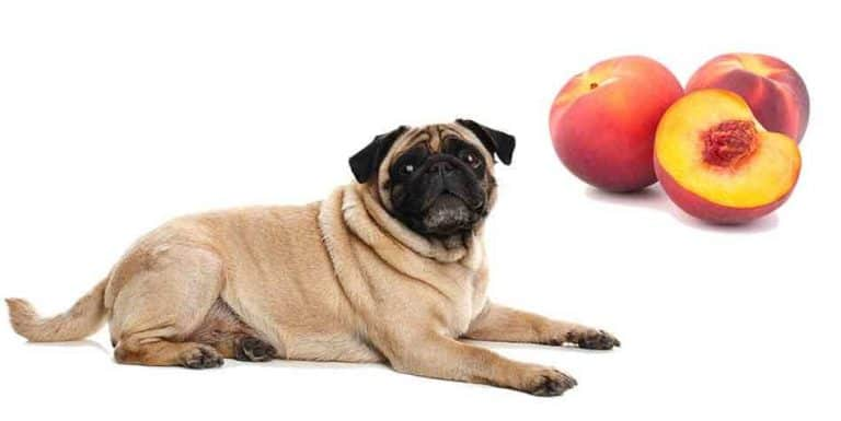 can pugs eat peaches