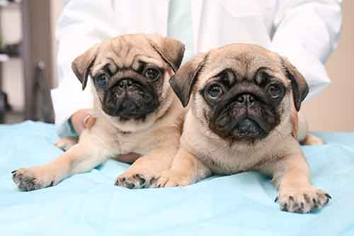 health problems with Pugs