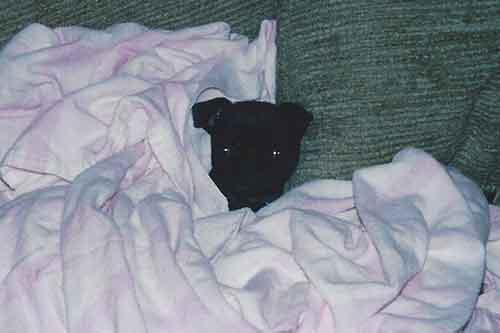 six week Pug
