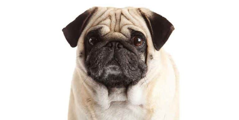 why do pugs have smashed faces