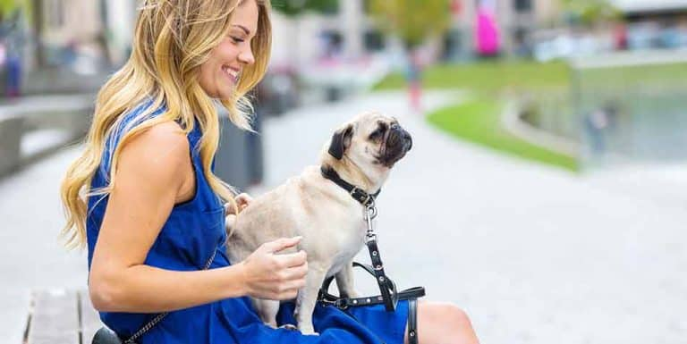 are pugs good lap dogs
