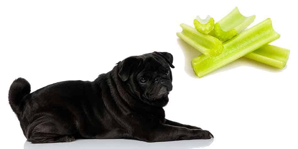 can Pugs eat celery