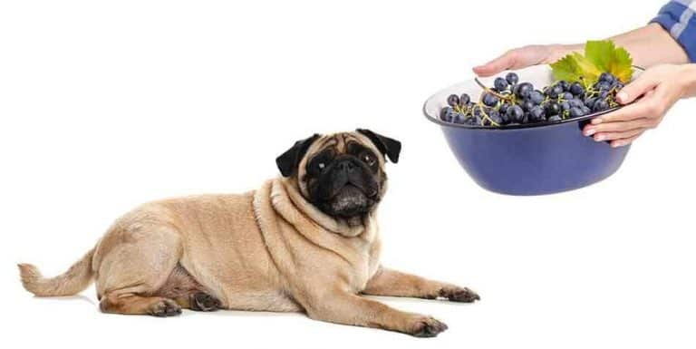 can pugs eat grapes