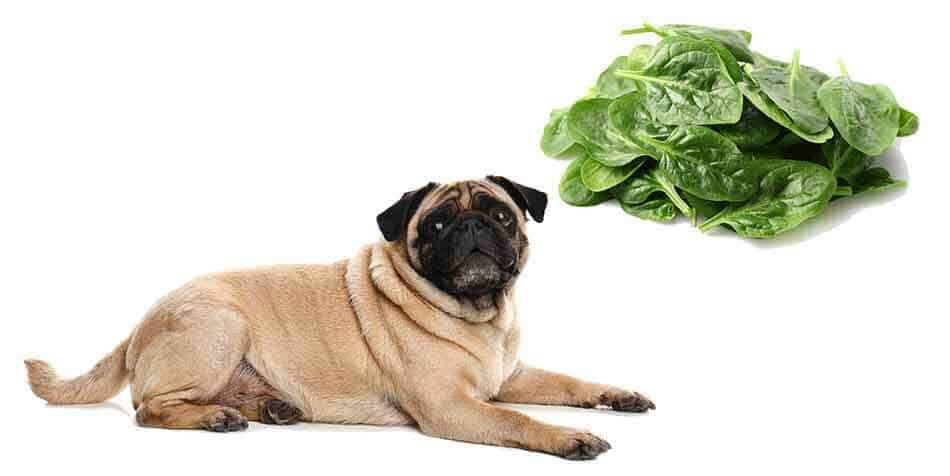 can pugs eat spinach