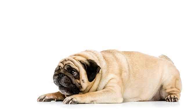 disciplining bad pug behavior