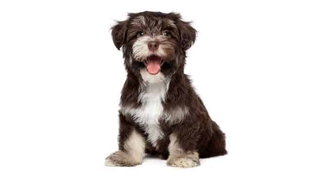 Havanese small lapdog