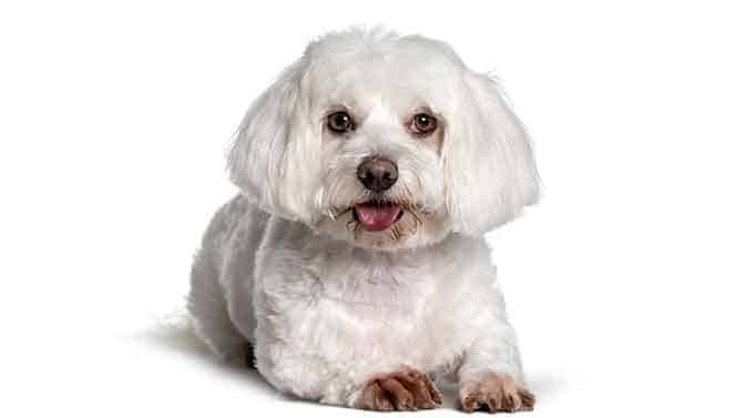 Maltese lapdog