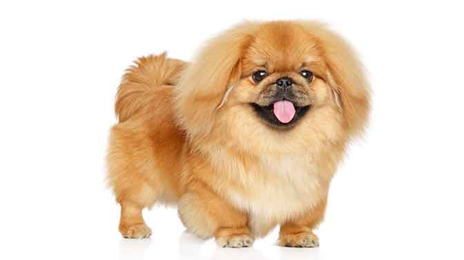 Pekingese lapdog