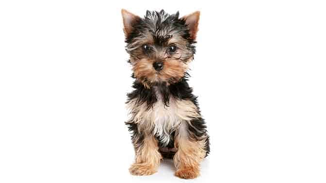 Yorkshire Terrier lapdog