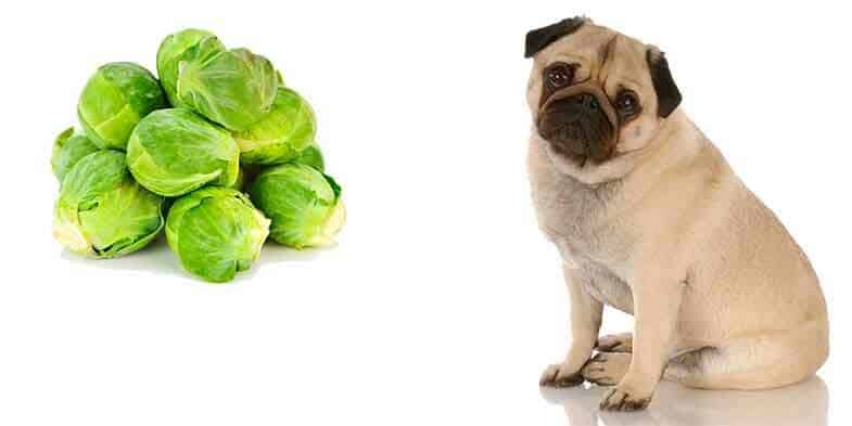 can pugs eat brussel sprouts