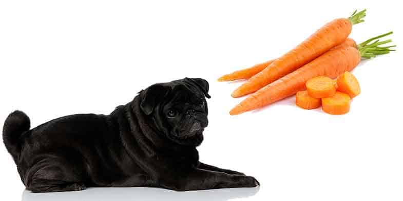 can pugs eat carrots
