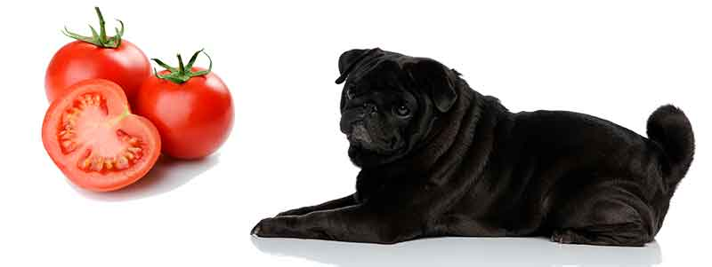 can pugs eat tomatoes