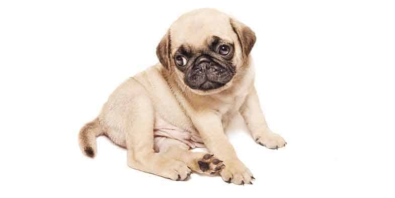 how long can a pug hold their bladder
