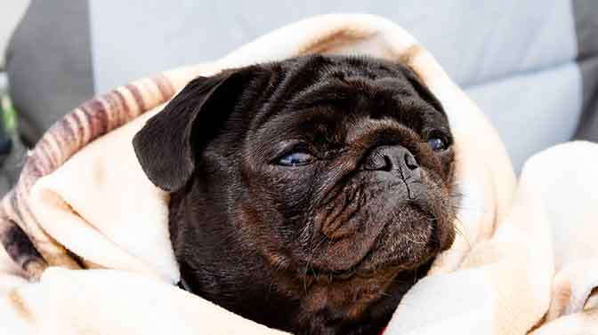 why do Pugs snore so loud
