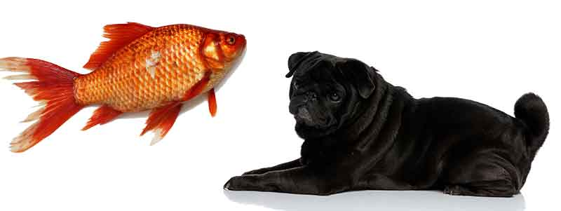can pugs eat fish