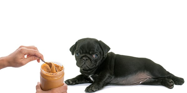 can pugs eat peanut butter