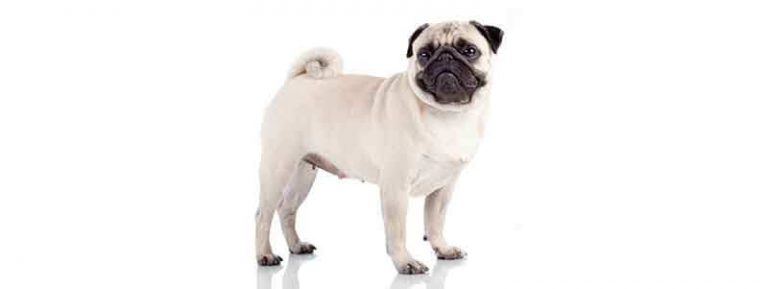 do pugs have hair or fur