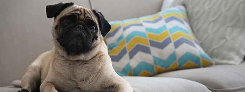 You Ll Be Amazed At How Much Pugs Shed And How To Stop It