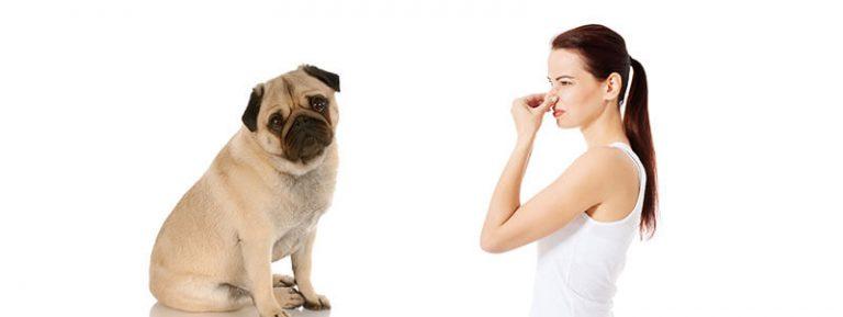 do pugs smell