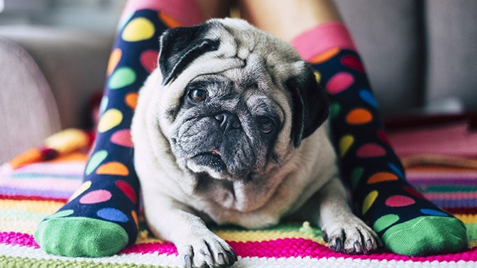 how long pugs live for