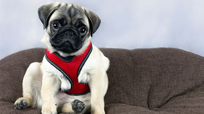 pug puppy harness