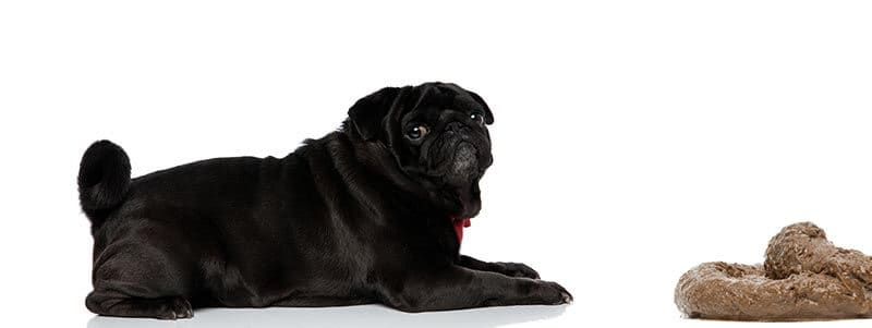 why do pugs eat their own poop