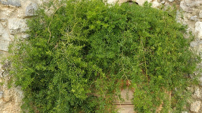 asparagus fern is toxic to dogs