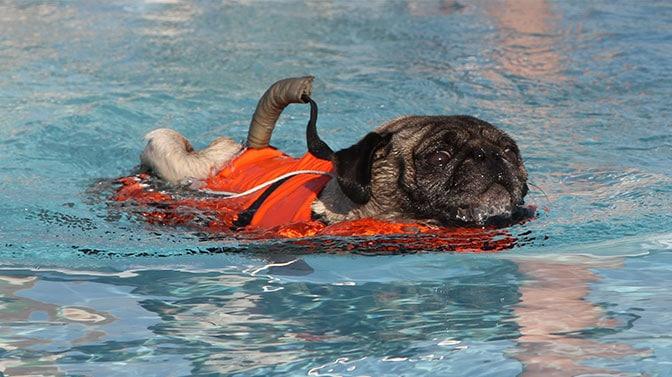 best life vest for pugs