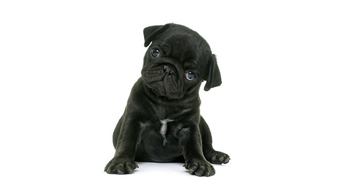 boy Pug names that start with S