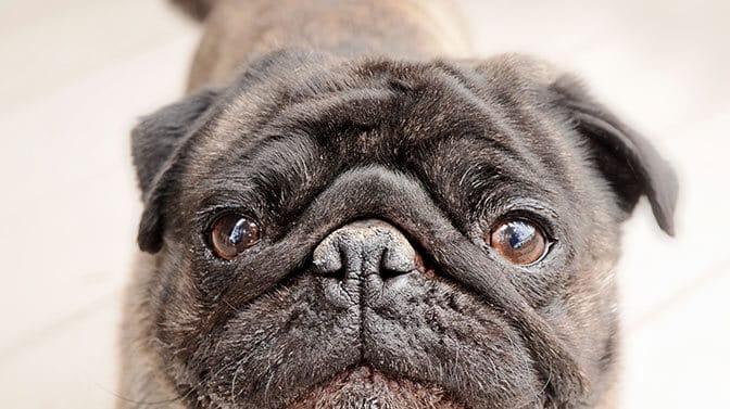 brindle colored Pug