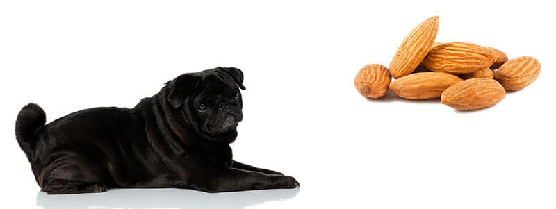 can pugs eat almonds