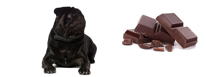 can pugs eat chocolate
