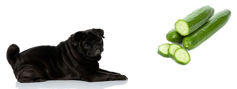can pugs eat cucumbers