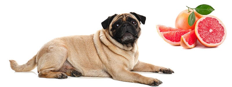 can pugs eat grapefruit