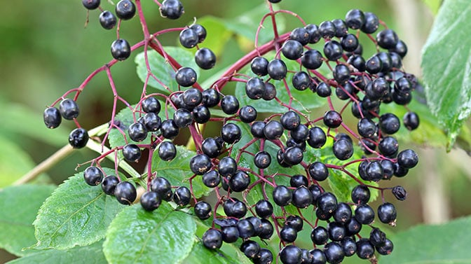 elderberry is toxic to pugs