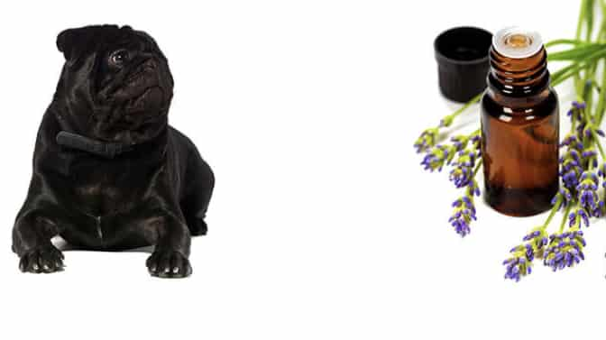 essential oils for pugs
