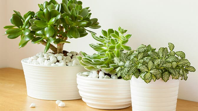 jade plants are toxic to dogs