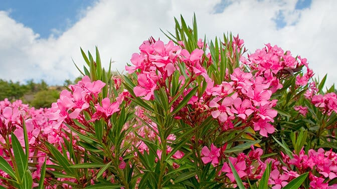 oleander flowers are toxic to dogs