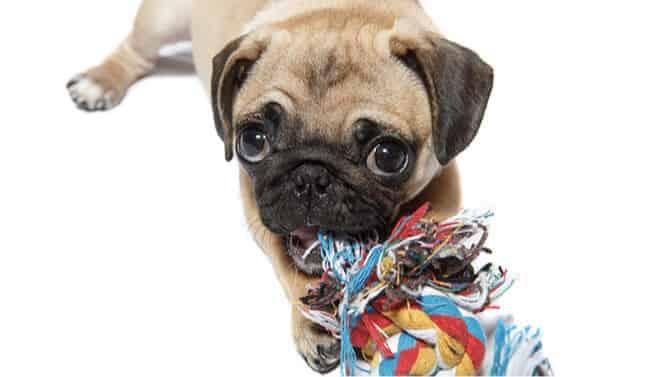 pug chew toys