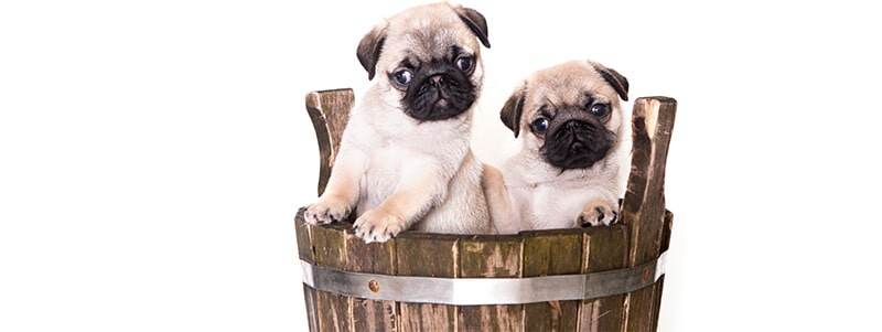 Pug names beginning with p