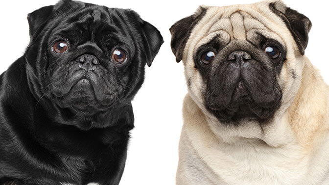Pug names that begin with m