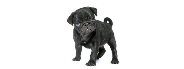black pug names