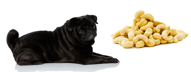 can pugs eat cashews